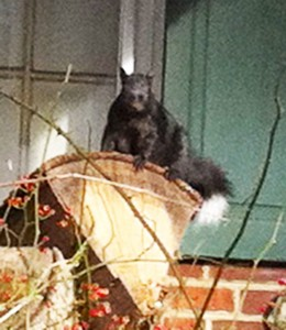 What's more better than a talking squirrel? A squnk! I see this little critter very rarely in my neighborhood. She's an Eastern gray squirrel in the black variant, like about 25% of the squirrels in my neighborhood. What make this one stand out is her white-tipped tail.